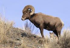 Lone Bighorn Sheep Stock Photography