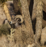 Bighorn sheep. Stock Image