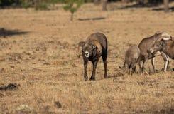 Bighorn Sheep in Rut Stock Image