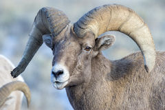 BIGHORN SHEEP IN MEADOW STOCK IMAGE Royalty Free Stock Images