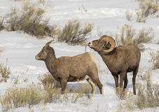 BIGHORN SHEEP IN MEADOW STOCK IMAGE. Ram bighorn sheep in sagebrush meadow stock photos