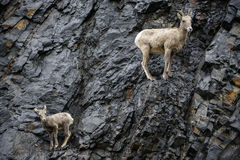 Bighorn Sheep Mother and calf. A bighorn sheep mother ewe and calf look for predators after climbing a steep rock face in the pouring rain, along the Kananaskis Royalty Free Stock Photos