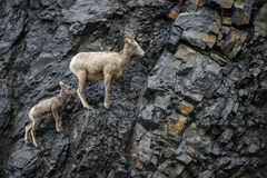 Bighorn Sheep mother and calf. A bighorn sheep mother and her calf climb a rock face in the pouring rain, in Canadas Kananaskis country Royalty Free Stock Photos