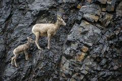 Bighorn Sheep mother and calf Royalty Free Stock Photos
