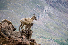 Bighorn Sheep Mother With Kid Stock Images