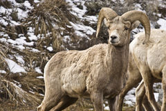 Bighorn sheep on mountain Royalty Free Stock Photography