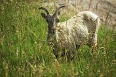 Bighorn Sheep. A bighorn sheep on a mountain in Badlands National Park, South Dakota royalty free stock photos