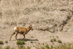 Bighorn sheep or mountain ram in Badlands National Park Royalty Free Stock Photo