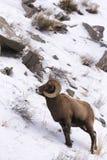 Bighorn Sheep On Mountain Side Stock Photo