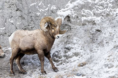 Bighorn Sheep On Mountain Side Stock Images