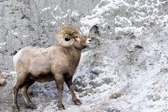 Bighorn Sheep On Mountain Side Stock Photos