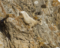 Bighorn sheep moving down the rocks. Stock Image