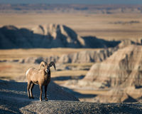 Bighorn Sheep. Near Dillon Pass in Badlands National Park near Wall, South Dakota Stock Images