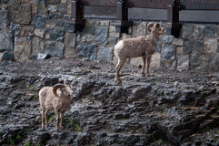 Bighorn sheep near the road Royalty Free Stock Images