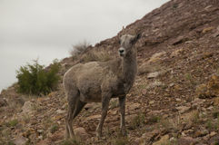 Bighorn sheep north american in prior mountains Stock Photos
