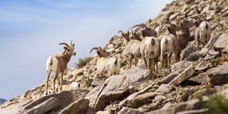 Free Bighorn Sheep On Mountain Side Stock Photos - 70915103