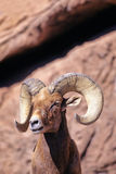 Bighorn Sheep, Ovis canadensis Stock Photography