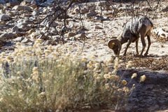 Bighorn sheep - Ovis Canadensis Stock Photo