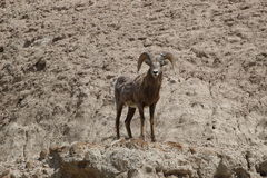 Bighorn Sheep Ovis canadensis in Badlands National Park Springtime. This bighorn sheep blends in perfectly into the lunar landscape of the Badlands National Park Stock Image