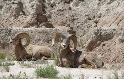 Bighorn Sheep Ovis canadensis in Badlands National Park Springtime. Two Bighorn rams resting in the Badlands National Park, South Dakota Royalty Free Stock Photography