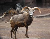 Bighorn sheep, Ovis canadensis stock images