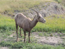 Bighorn Sheep Ovis Canadensis. A ewe bighorn sheep (Ovis Canadensis) pauses while grazing on a grassland. Female bighorn sheep, have smaller horns than males royalty free stock photo