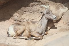 Bighorn Sheep (Ovis canadensis) Royalty Free Stock Photo