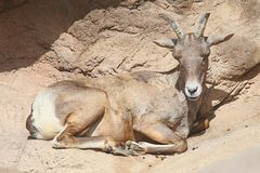 Bighorn Sheep (Ovis canadensis) Royalty Free Stock Images