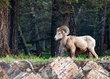 The bighorn sheep Ovis canadensis in the forest royalty free stock image
