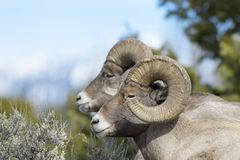 Bighorn Sheep ram,  between sage on ridge, wintertime Royalty Free Stock Image