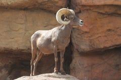 Bighorn Sheep (Ovis canadensis) Stock Photos