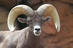 Bighorn Sheep (Ovis canadensis) Stock Images