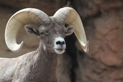 Bighorn Sheep (Ovis canadensis) Royalty Free Stock Photos