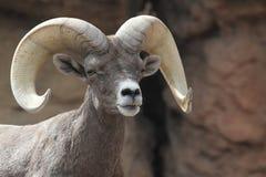 Bighorn Sheep (Ovis canadensis) royalty free stock photos