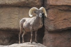 Bighorn Sheep (Ovis canadensis) Royalty Free Stock Photography
