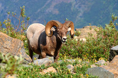 Bighorn sheep (Ovis canadensis) - Montana Royalty Free Stock Photo