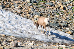 Bighorn sheep (Ovis canadensis) Montana Stock Photo