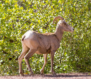 Bighorn Sheep - Ovis canadensis nelson. Zion National Park, Utah, USA stock image