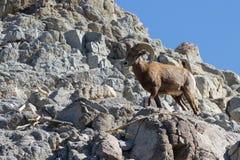 Bighorn sheep - Ovis canadensis nelsoni Stock Photo