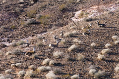 The bighorn sheep (Ovis canadensis) resting Stock Photos