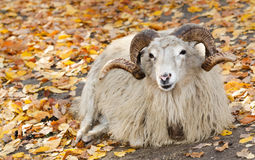 Bighorn sheep (Ovis canadensis) Royalty Free Stock Image