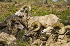 Rocky Mountain Bighorn Sheep stock images