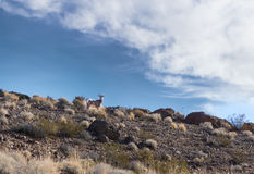 The bighorn sheep (Ovis canadensis) on top of a rocky hill Stock Image