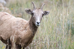 Bighorn Sheep (Ovis canadensis) Stock Photos