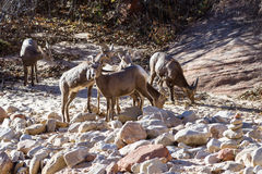 Bighorn sheep - Ovis Canadensis Stock Images