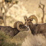 Bighorn sheep. Royalty Free Stock Photography