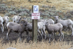 Bighorn sheep parking improperly next to sign for straight parki Royalty Free Stock Photos