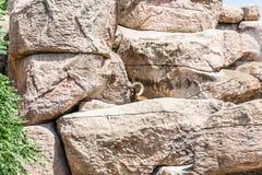 Bighorn Sheep Picking Over Rocks stock photos