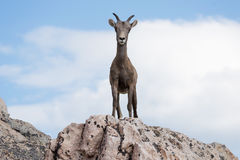 Bighorn Sheep. This is a picture of a Bighorn Sheep playing on some rocks stock photography