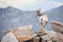 Bighorn Sheep. This is a picture of some Bighorn Sheep play on some rocks stock photos